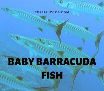 baby barracuda fish