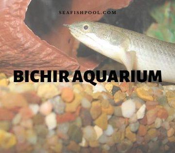 bichir aquarium