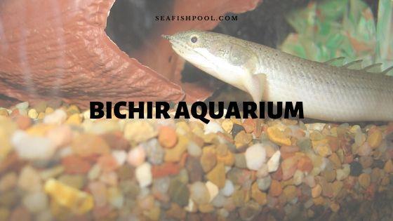 Bichir Fish In Aquarium Setup Care And Feeding Seafish
