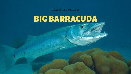 big barracuda