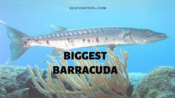 biggest barracuda
