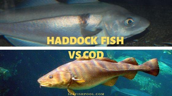 Haddock vs Cod
