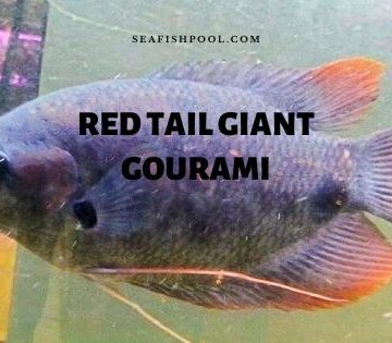 red tail giant gourami