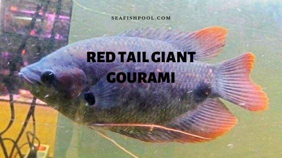 red tail giant gourami