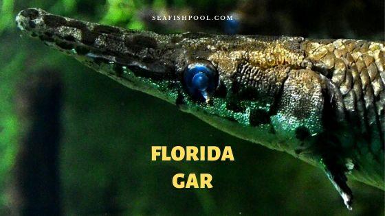 Florida gar