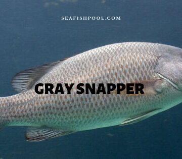 Gray snapper