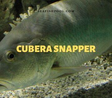 cubera snapper