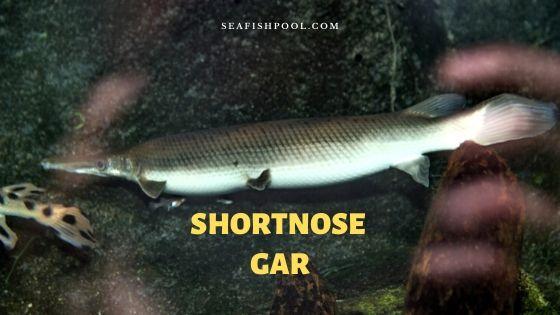shortnose gar
