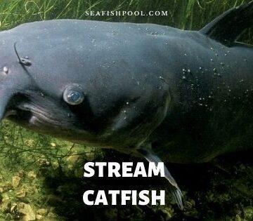 stream catfish