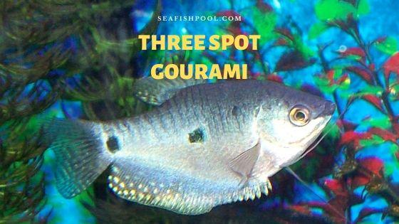 three spot gourami
