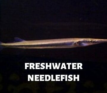 freshwater needlefish
