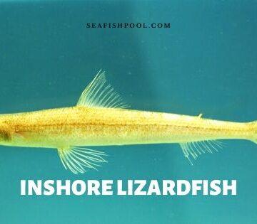 inshore lizardfish