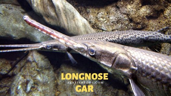 longnose gar