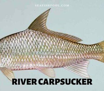 river carpsucker