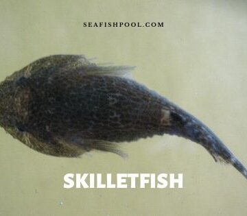 skilletfish Gobiesox strumosus