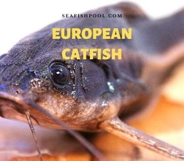 European catfish