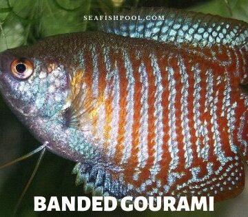 banded gourami