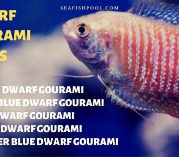 dwarf gourami types