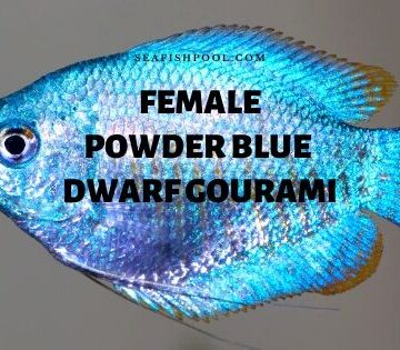 female powder blue dwarf gourami