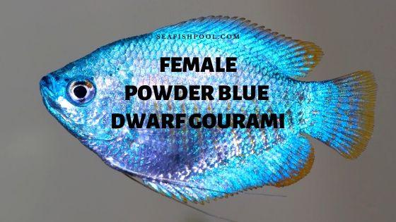 female powder blue dwarf gourami