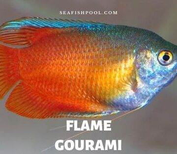 flame gourami