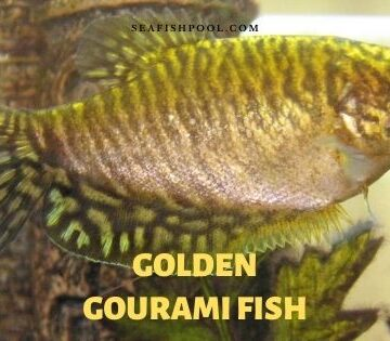 golden gourami fish