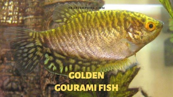 golden gourami fish