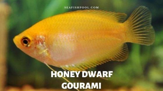 honey dwarf gourami