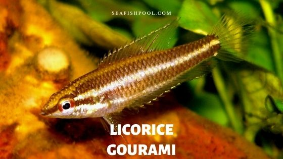licorice gourami