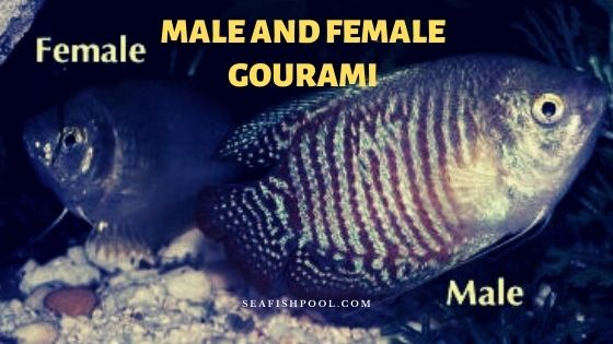 male and female gourami