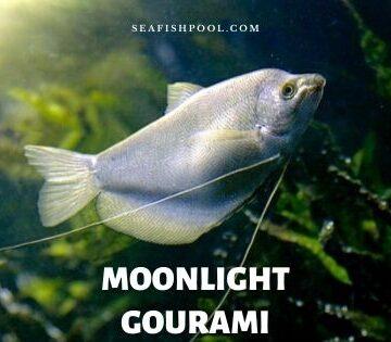 moonlight gourami