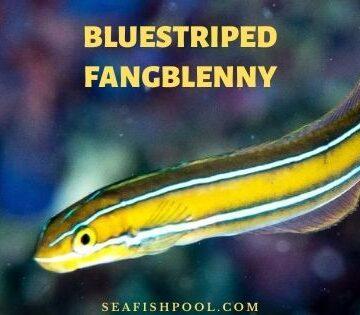 Bluestriped fangblenny