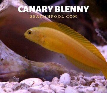 Canary Blenny