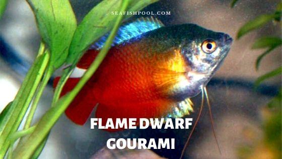 Flame Dwarf Gourami