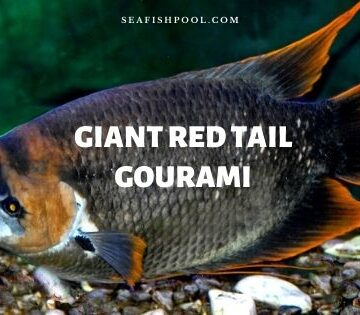 Giant Red Tail Gourami