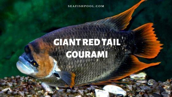 Giant Red Tail Gourami