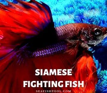Siamese Fighting Fish
