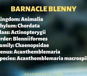 barnacle blenny