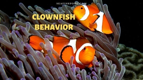 clownfish behavior