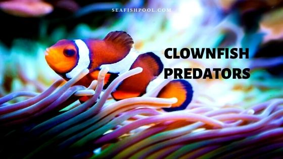 clownfish predators