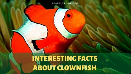 interesting facts about clownfish clownfish facts clownfish facts for kids fun facts about clownfish anemonefish facts percula clownfish facts facts about clownfish wikipedia clown fish facts male female cool facts about clownfish clownfish gender facts clown fish habitat facts clownfish and sea anemone facts ocellaris clownfish facts weird facts about clownfish clown fish reproduction facts clownfish information for kids