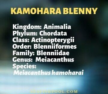 kamohara blenny