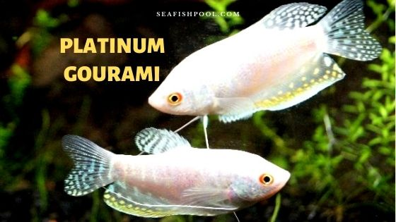 platinum gourami