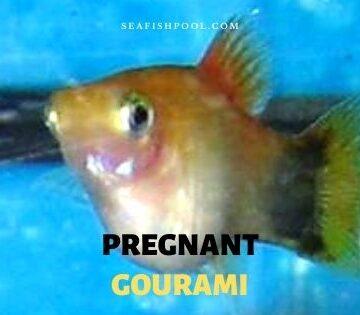 pregnant gourami