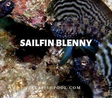 sailfin blenny