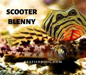 scooter blenny