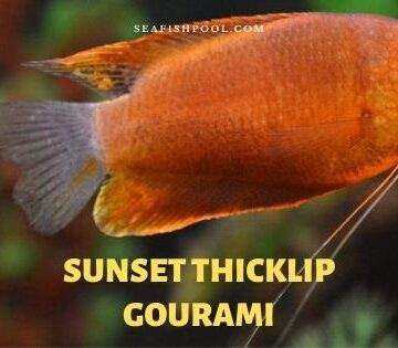 sunset thicklip gourami