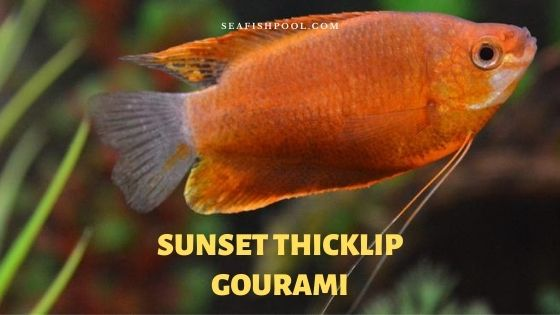 sunset thicklip gourami