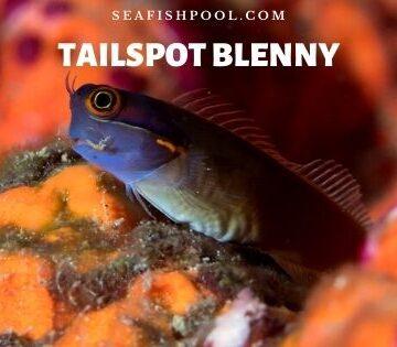 tailspot blenny tail spot blenny tailspot blenny care tailspot blenny diet tail spotted blenny tailspot