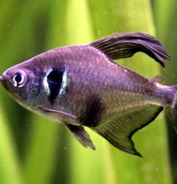 black phantom tetra phantom tetra tetra black phantom phantom black tetra all black phantoms phantom tetra fish black phantom tetra fish black on black phantom